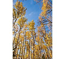 Aspen Trees in the Fall Photographic Print