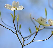 Dogwood Blossoms by Laurie Minor