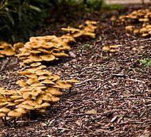 Fungi (6) at the Australian National Botanic Garden/Canberra by Wolf Sverak