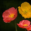 3 poppies by LudaNayvelt