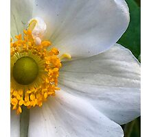 Blonde Anemone - Macro Photographic Print