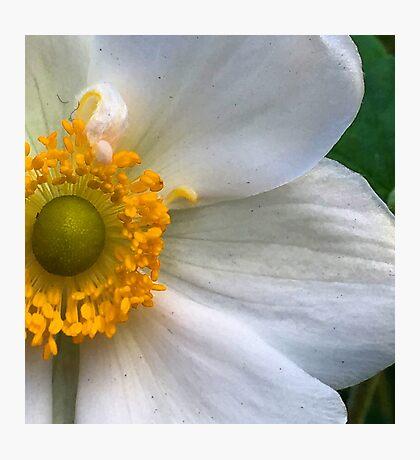 Blonde Anemone - Macro Photographic Print
