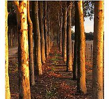 Treelined Sugar Gums - Macro Photographic Print