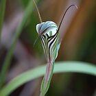 Striped Greenhood by Keren Smithies