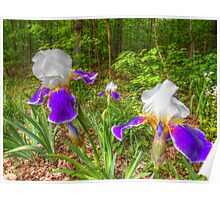 Bi-color Iris Blooms And Buds Poster