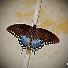 Spice Bush Swallowtail by TJ Baccari Photography