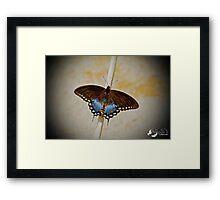 Spice Bush Swallowtail Framed Print