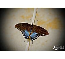 Spice Bush Swallowtail Photographic Print