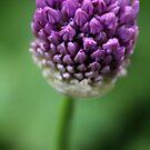 Allium II by karina5