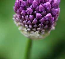 Allium II by karina5