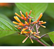 Minuscule buds Photographic Print