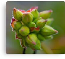 Hairy Buds (geranium) Canvas Print