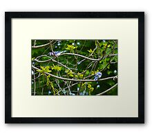 Cyanocitta Cristata - Blue Jays | Center Moriches, New York Framed Print