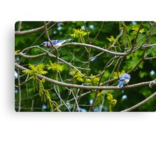 Cyanocitta Cristata - Blue Jays | Center Moriches, New York Canvas Print