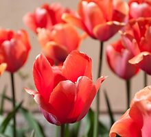 Lush red tulips by kridel
