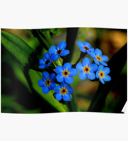 Forget-Me-Nots, Manfield Scar,River Tees, England Poster