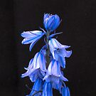 Blue Bells by DPalmer