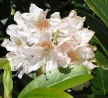 Sunkissed Rhododendron Blossom - Keukenhof Gardens Sticker