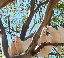 'I THINK IT'S TIME THEY SHUT UP! Noisy long billed Corella's, Victoria! by Rita Blom