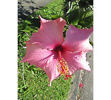 Beautiful Hibiscus! Nature strip, Woodburn, N.S.Wales. Photographic Print