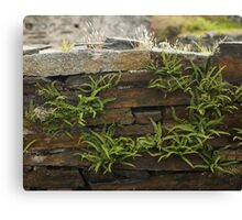 Spleenwort Maidenhair fern on wall at Cashelnagor Canvas Print