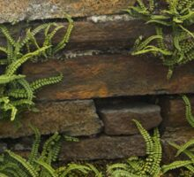 Spleenwort Maidenhair fern on wall at Cashelnagor Sticker