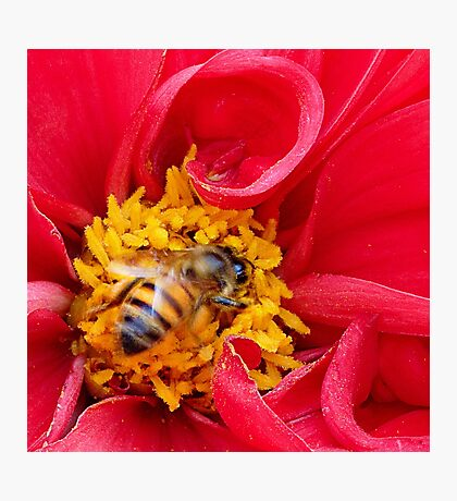 bee on a rose Photographic Print