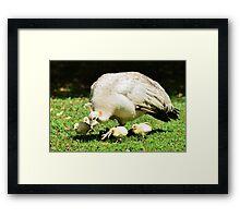 Looking for Australia (White Peafowl) Framed Print