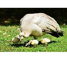 Looking for Australia (White Peafowl) Photographic Print