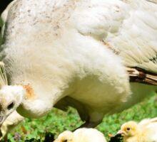 Looking for Australia (White Peafowl) Sticker