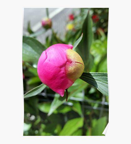 deep pink bud Poster