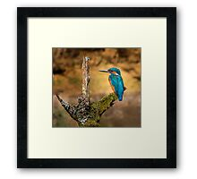 Kingfisher on branch Framed Print