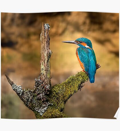 Kingfisher on branch Poster