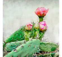 Cactus Pink Blooms Photographic Print
