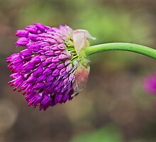 Pink Allium by Susie Peek