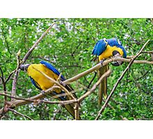 South American Couple of Parrots Photographic Print