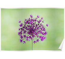Spring flower macro isolated on green meadow background Poster