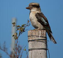 Kookaburra by Frank Moroni