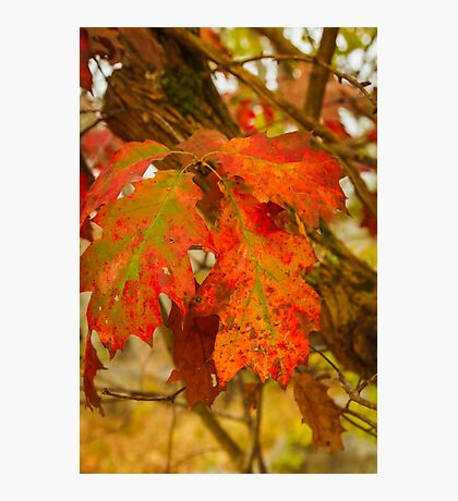 Dying Oak Leaves Photographic Print