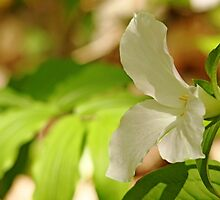 White Trillium by Debbie Oppermann