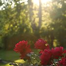 Kim's Roses in Late Day Sun by Kent Nickell