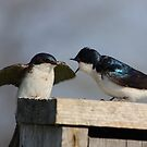 Tree Swallows #1  by Kane Slater