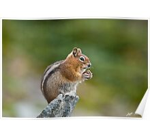 Golden Mantled Ground Squirrel Sitting on a Rock Eating Poster