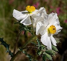 Pair of prickly poppies by Celeste Mookherjee