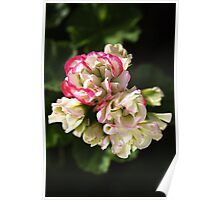 Geranium Soft White and Pink Poster