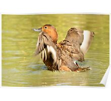 time to splash out (female mallard duck) Poster