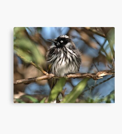 Fluffed up and alert Canvas Print