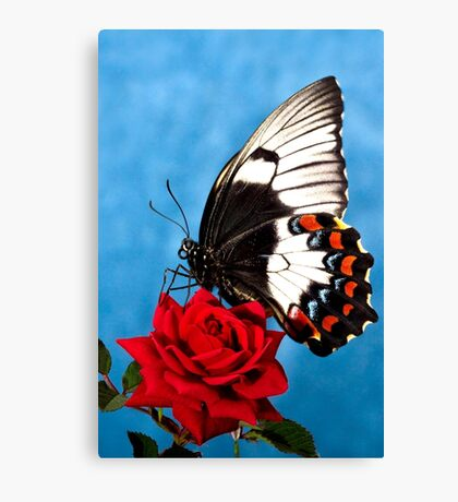 Butterfly Rose Canvas Print
