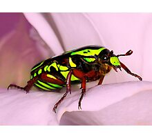 Rose Beetle Photographic Print