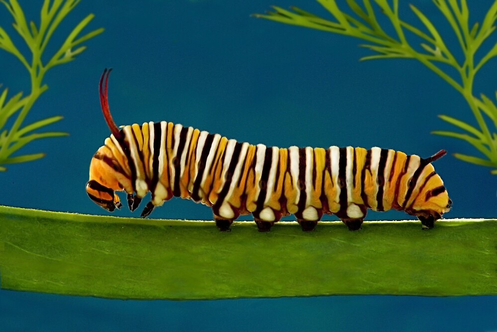 Monarch Caterpillar by Ken Boxsell